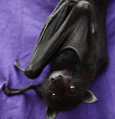 Picture borrowed from: http://images5.fanpop.com/image/photos/31800000/Cute-bat-bats-31889713-400-416.jpg Copyright remains that of the original owner.